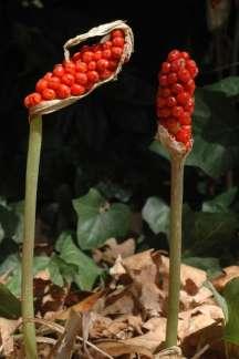 Italian arum fruiting stems