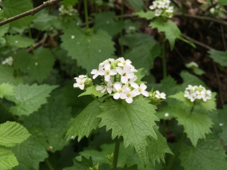 Garlic mustard flowers in April and May