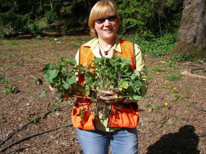 garlic-mustard-large-plant-uprooted