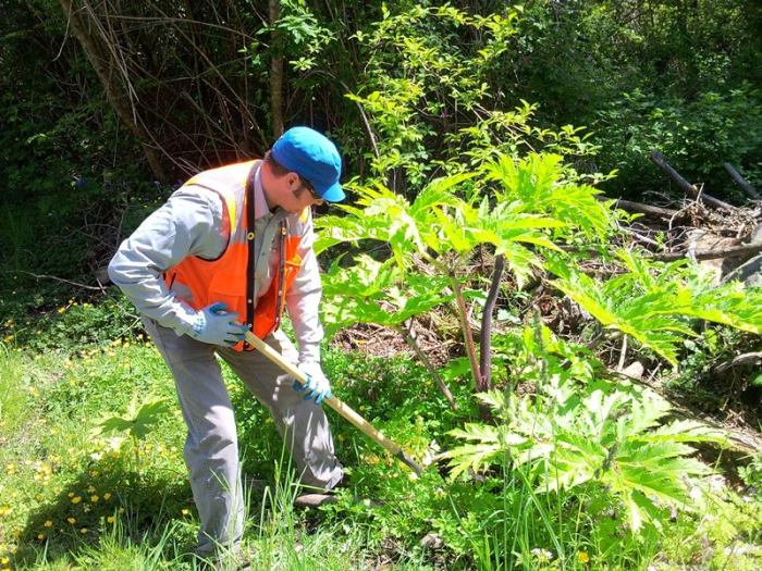 Giant Hogweed June 2016 Weed Of The Month Noxious