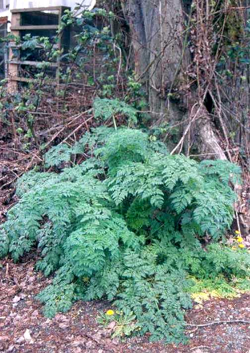 poison-hemlock-by-tree