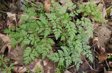 wild chervil emerging in March (photo by Matt Below)