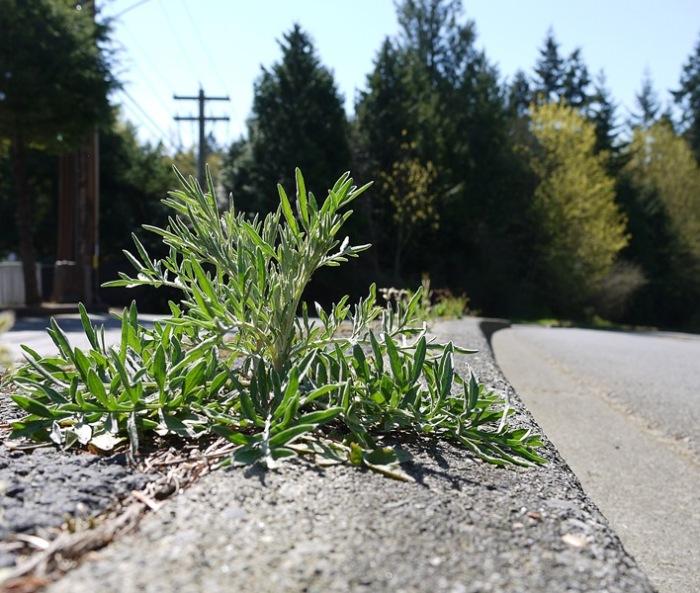 spotted-knapweed-bolting-roadside-04-07-2016-MattBelow