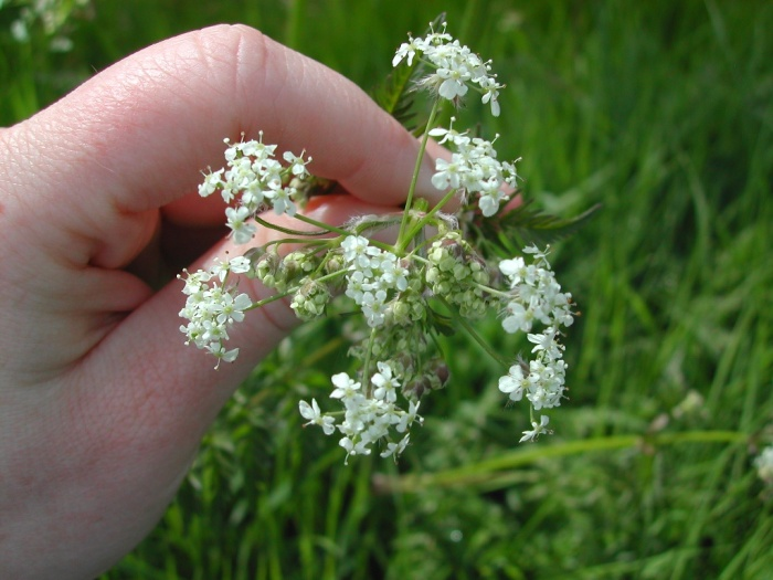 wild-chervil-flowers-LNelson