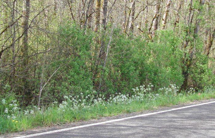 wild-chervil-roadside-LNelson