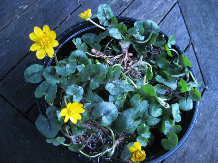 lesser-celandine-in-pot-Mar2014-KarenPeterson
