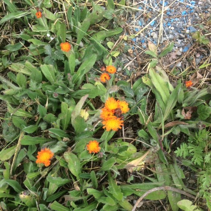 orange-hawkweed-flowering1-05182016-MFee