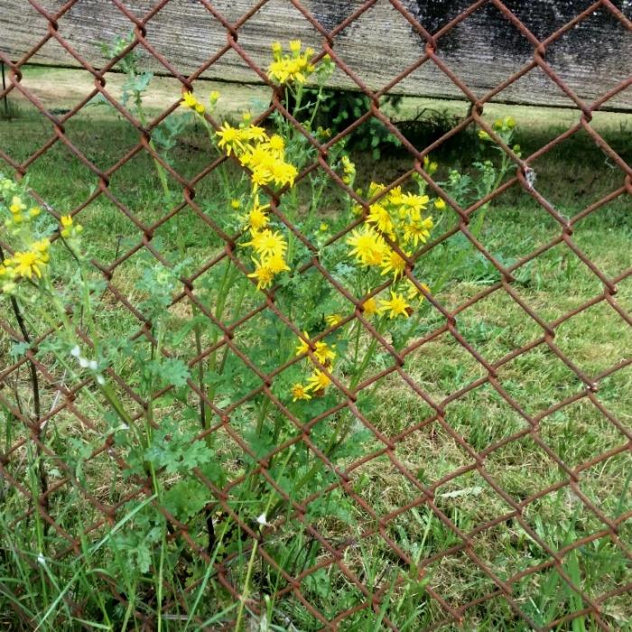 tansy-ragwort-flowering1-05182016-MFee