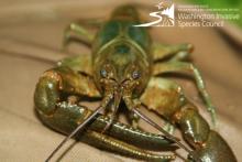 Rusty Crayfish