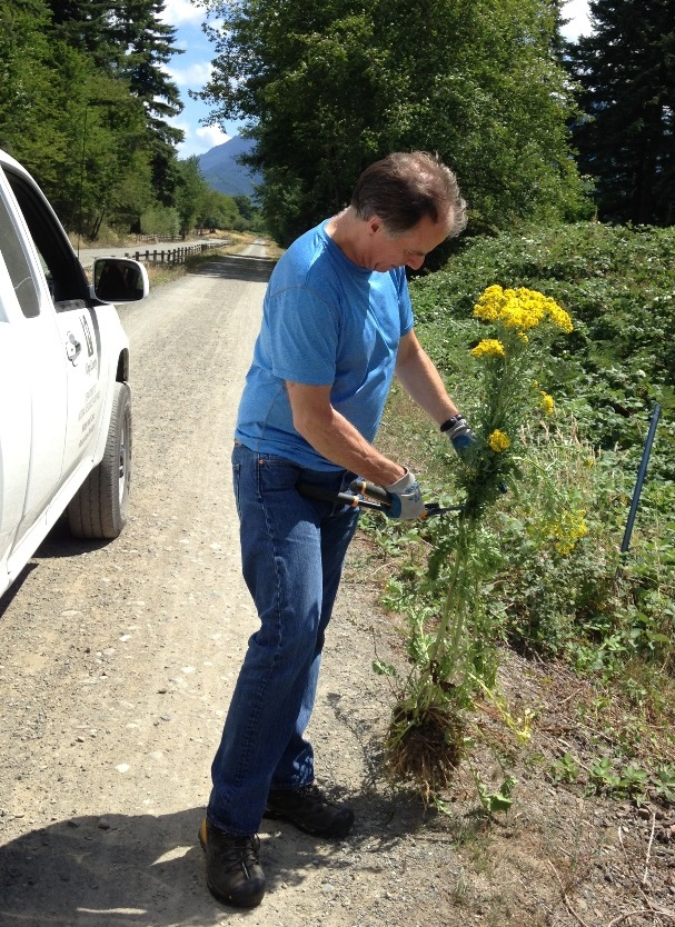 county-controlling-tansy-ragwort-roadside-SShaw
