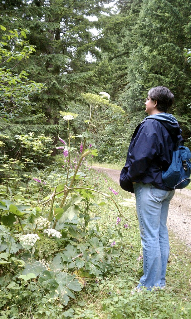 Northwest native cow parsnip is common on hiking trails in King County, WA. Photo by Sasha Shaw.