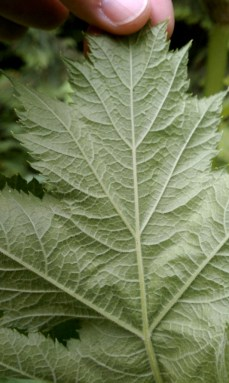 The underside of a cow parsnip leaf is covered with downy hairs unlike giant hogweed. Photo by Sasha Shaw.