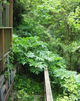 Giant hogweed lurking behind a house in Seattle.