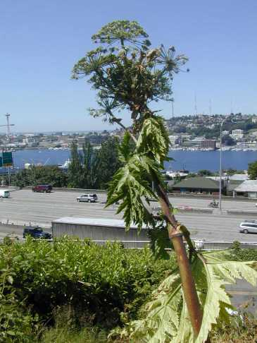 Giant hogweed with seeds towering above I-5 and Lake Union