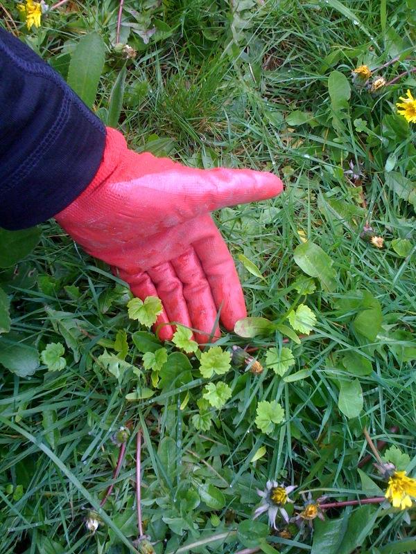 giant-hogweed-seedlings-MWinkler