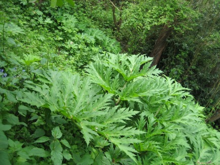 Giant hogweed growing among other plants on a hillside in Seattle.