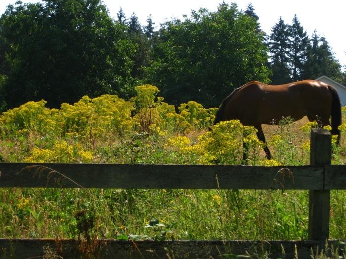 Los caballos tratarán de no comer la hierba de Santiago, pero incluso pequeñas cantidades pueden acumularse en el hígado y causar daños. Foto de Maria Winkler.