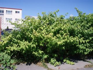 Stand of knotweed in a commercial lot in Ballard. Photo by Sasha Shaw.