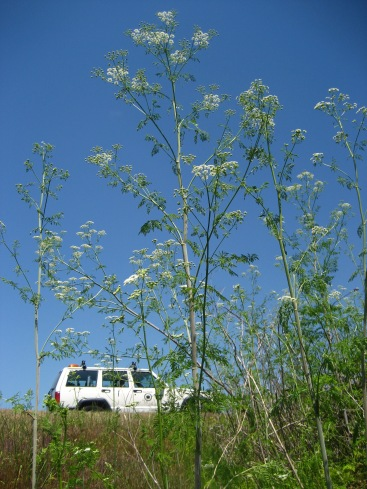 Poison hemlock is very tall when in flower. Photo by Frances Lucero.
