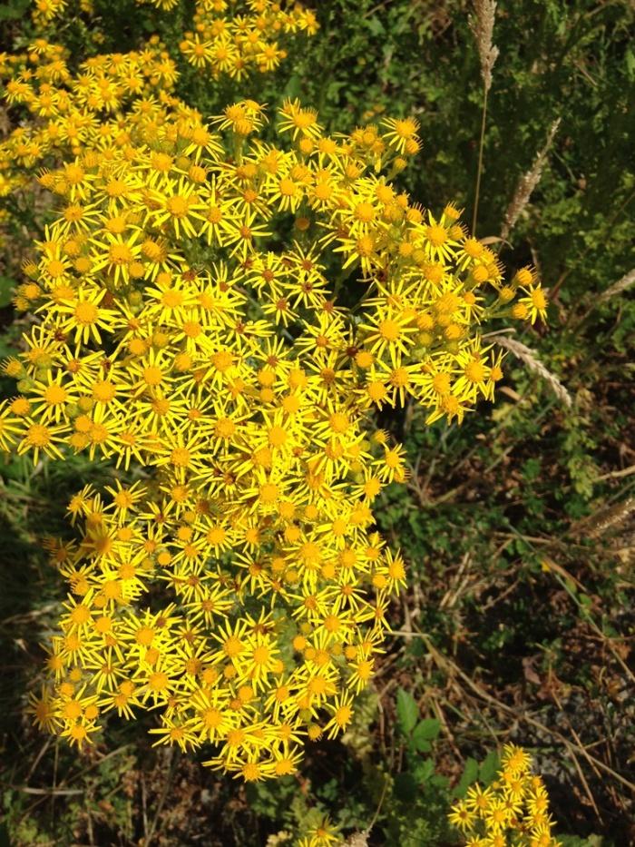Las flores de la hierba de Santiago