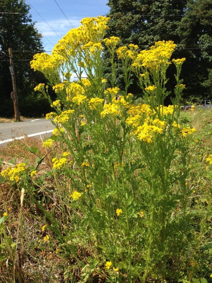 La hierba de Santiago florece desde mayo hasta finales del verano