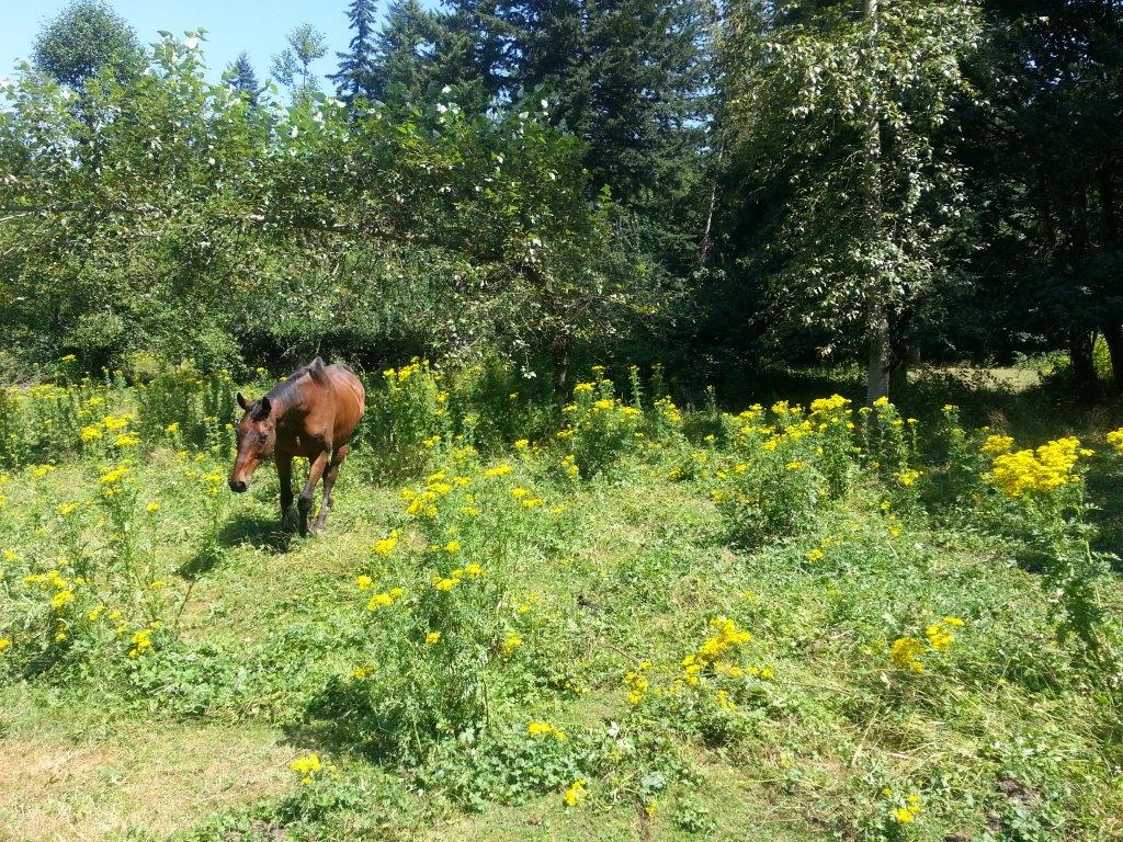 Protect Horses By Getting Rid Of Tansy Ragwort Noxious Weeds Blog