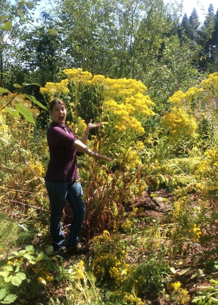 tansy-ragwort-giant-plant-MaryFee-08032016