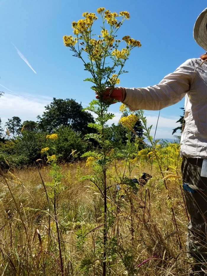 tansy-ragwort-in-hand-SShaw
