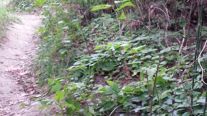 garlic-mustard-trail-tolt-macdonald-20160802_rbrunskill