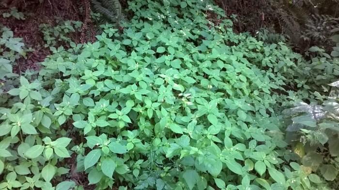 impatiens-parviflora-6-noveltyhill-06262016-alexander_wright