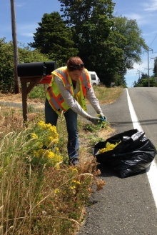 King County noxious weed specialist bagging the flowering tops of tansy ragwort after removal.