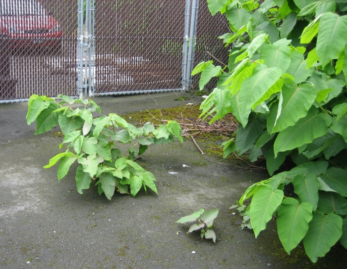 Giant knotweed growing through asphalt. Photo courtesy of King County.