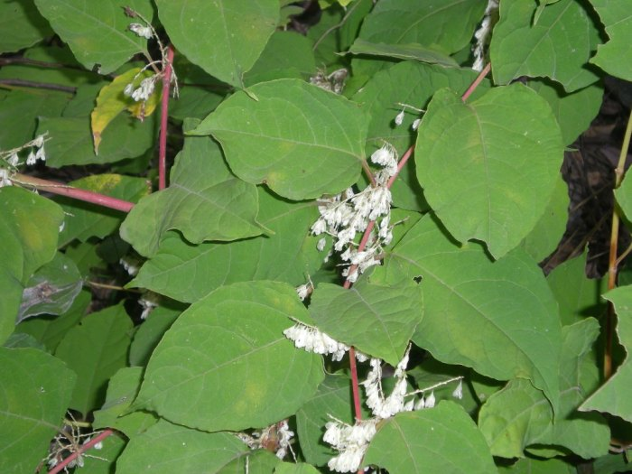 Japanese knotweed in Japan. Photo courtesy of Steve Burke.