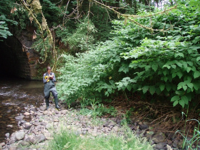 Mapping knotweed on a river in King County. Photo by Frances Lucero.