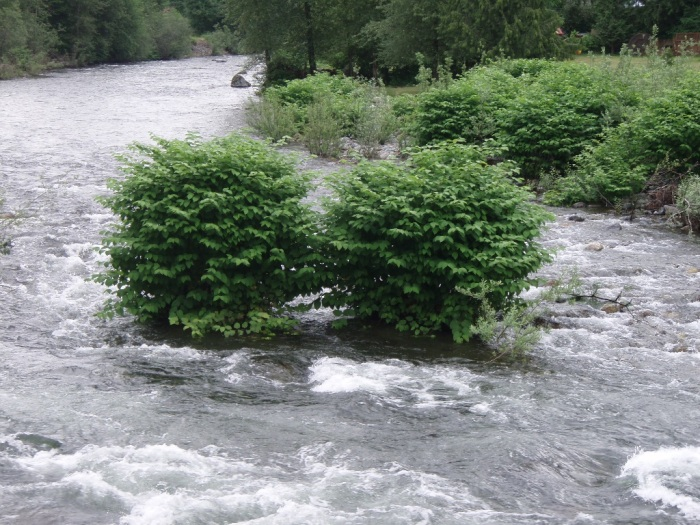 Knotweed island in the South Fork Snoqualmie River. Photo courtesy King County.