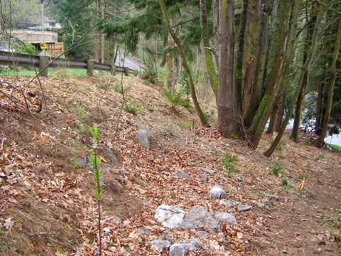 Photo of Carkeek Park after English ivy was removed.