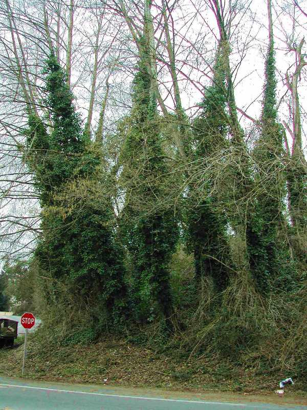Photo of English ivy growing on trees on a roadside.