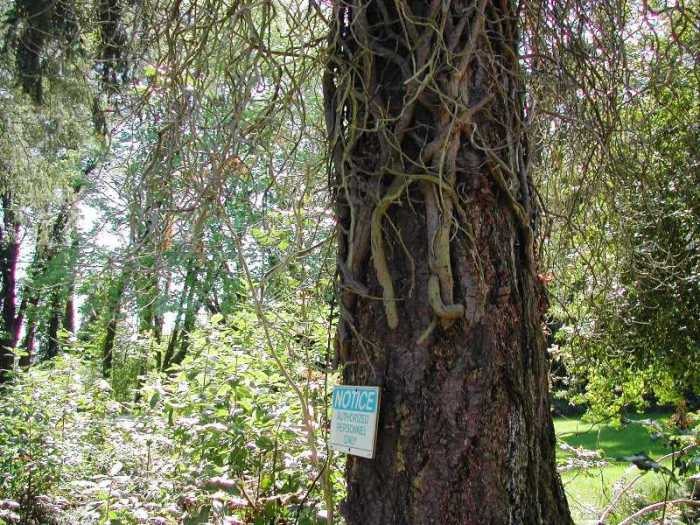 Photo of a tree with old English ivy vines that have been cut and pulled off the lower trunk.