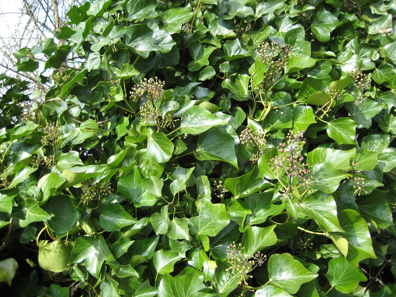 Photo of flowering English ivy.
