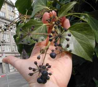 Photo of English ivy leaves and fruit.