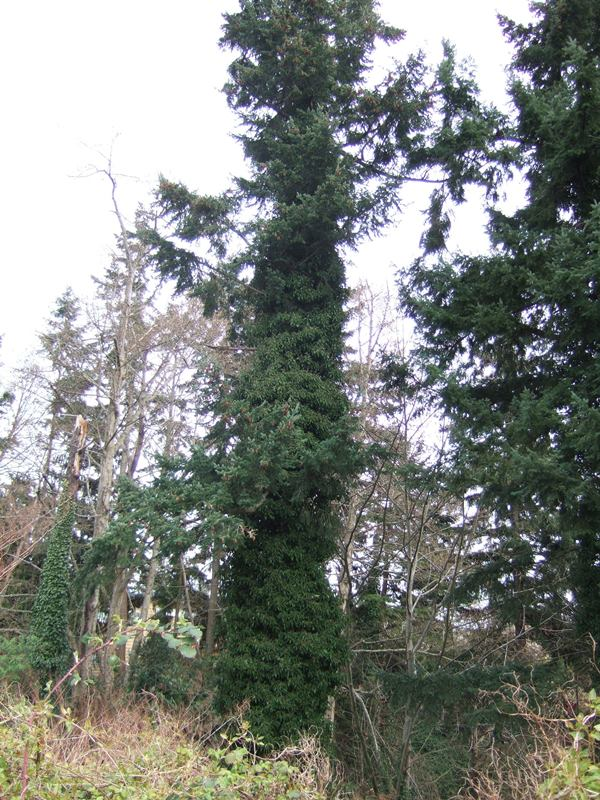Photo of a tall conifer covered in English ivy