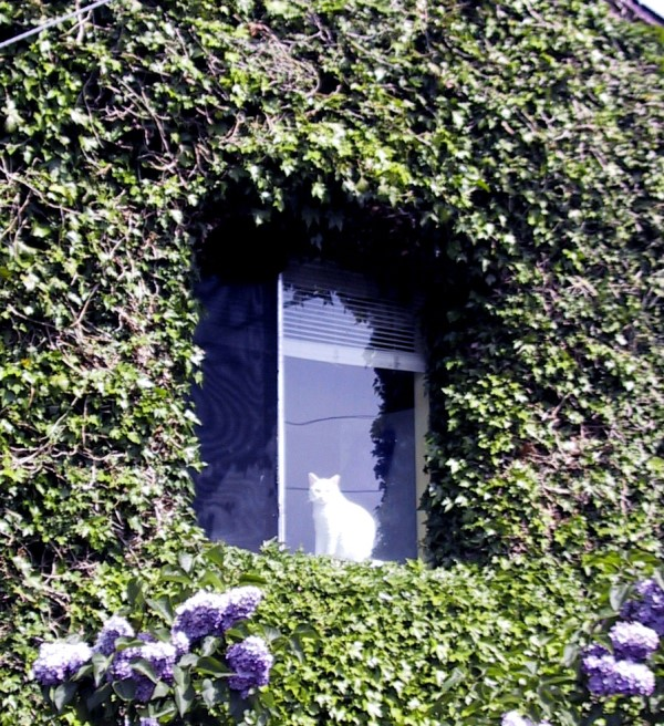 Photo of English ivy growing on a house with a cat in the window.
