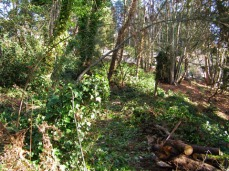 Photo of English ivy growing in Carkeek Park