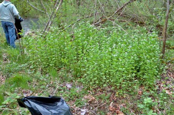A photo of garlic mustard, Class A noxious weed in Washington, being pulled from a property on the Cedar River.
