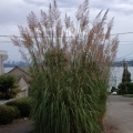 A photo of Ravenna grass planted on a parking strip in Seattle, Washington. Photo by Karen Peterson.