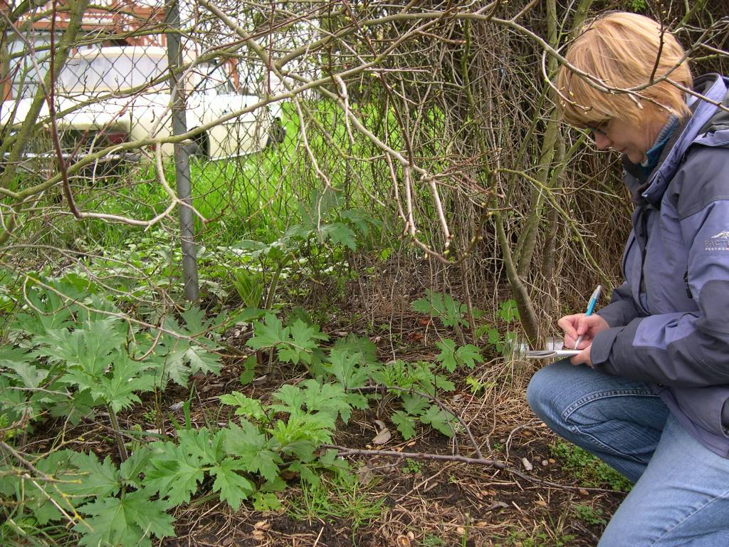 Recording a new giant hogweed infestation in March the old-fashioned way, with a pen an paper. Now this can be done quickly with the WA Invasives phone app.