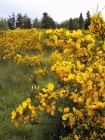 A photo of Scotch broom in Discovery Park in King County, Washington