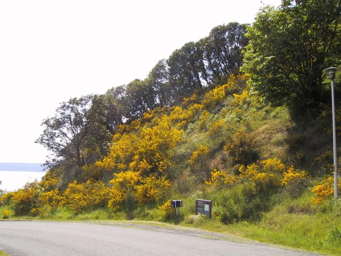 Scotch broom is a harmful invasive species in Washington.