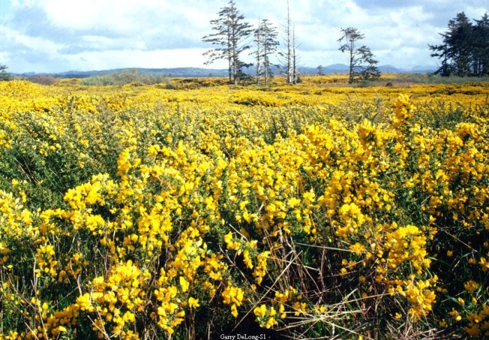 Gorse blanketing the landscape near Bandon, Oregon. Photo by Gary DeLong.