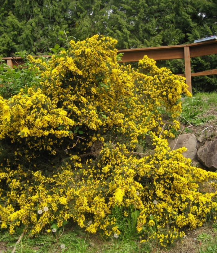 Gorse was introduced to Washington and Oregon as an ornamental flowering shrub in spite of its invasiveness, fire risk and sharp thorns.